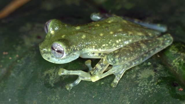 vídeos y material grabado en eventos de stock de maria's giant glass frog (nymphargus mariae) on a leaf in the rainforest, ecuador - ecuador