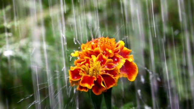 Goudsbloem bloem bij regen, slow-motion