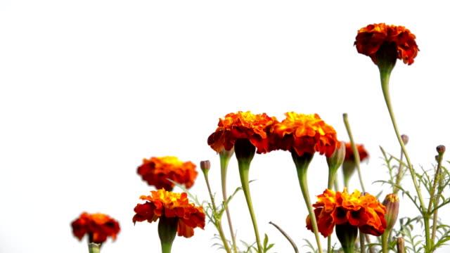 Marigold Flower Field
