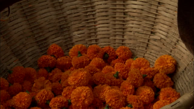 Marigold flowers being put into basket. Available in HD.