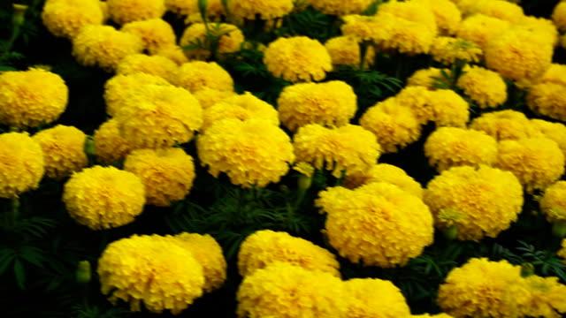 Goudsbloem bloemen.