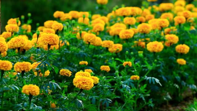 Marigold Flowers