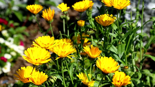 marigold - homeopathic medicine stock videos and b-roll footage