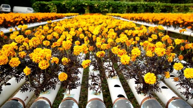 marigold yellow farm - washing up glove stock videos & royalty-free footage