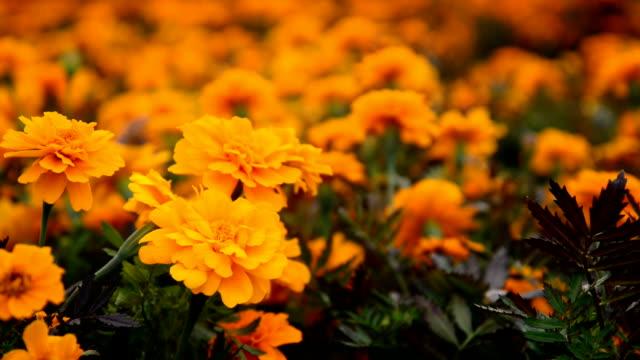 stockvideo's en b-roll-footage met marigold yellow farm - afwashandschoen