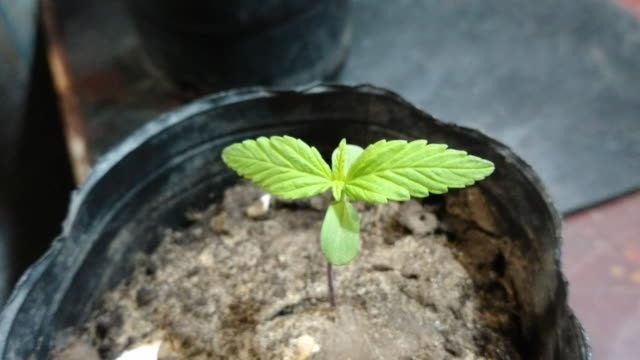 marihuana plant child ina cube - plant pot stock videos & royalty-free footage