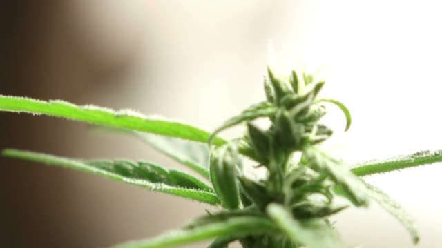 Marihuana Cannabis Fiori