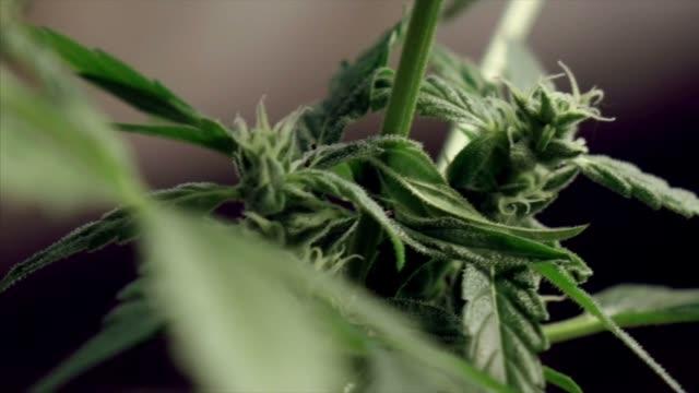 marijuana cannabis plant cultivated - marijuana herbal cannabis stock videos & royalty-free footage