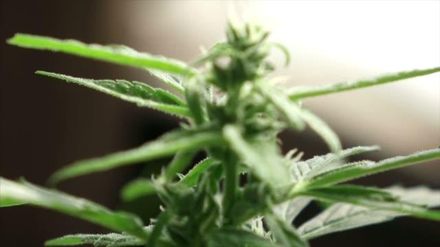 Marihuana Cannabis-Pflanze angebaut