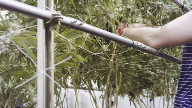 4K UHD: Marijuana Crop being Harvested