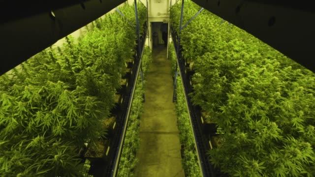 marijuana grow room, camera on elevator going up - marijuana herbal cannabis stock videos & royalty-free footage