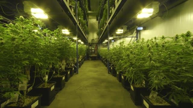 vídeos y material grabado en eventos de stock de marijuana grow room, tilt down - marihuana hierba de cannabis