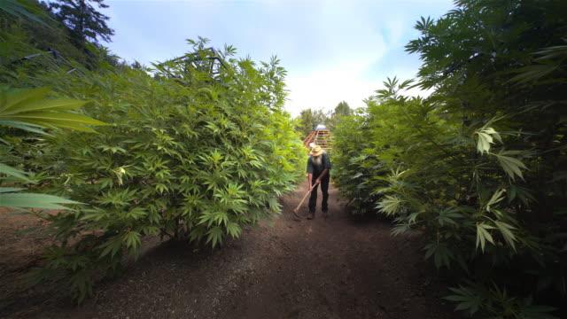 marijuana grower working a pot farm, oregon - jäthacke stock-videos und b-roll-filmmaterial