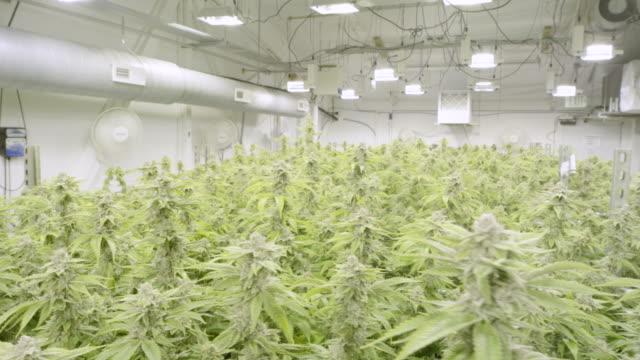 4K UHD: Marijuana Growing in Controlled Environment