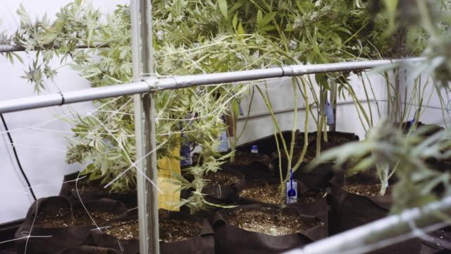 4K UHD: Marijuana Harvester