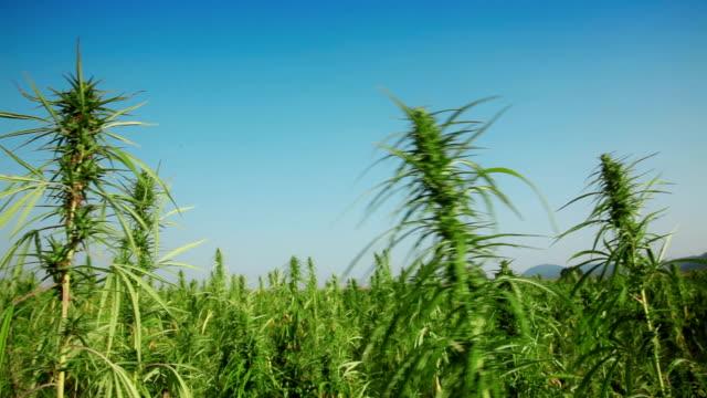 Marijuana, hemp field