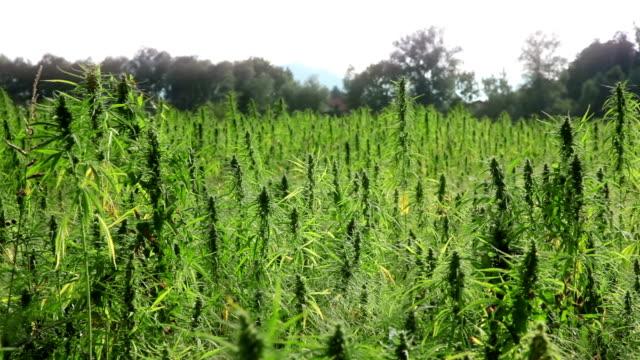 marijuana, hemp field - marijuana herbal cannabis stock videos & royalty-free footage