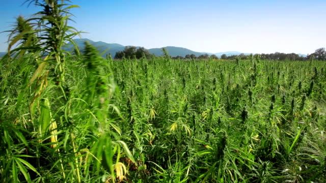 marijuana, canapa campo - marijuana cannabis video stock e b–roll