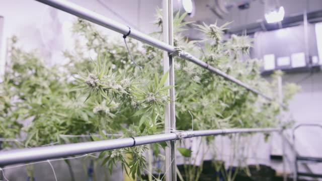 4K UHD Marijuana Plant Ready to be Harvested