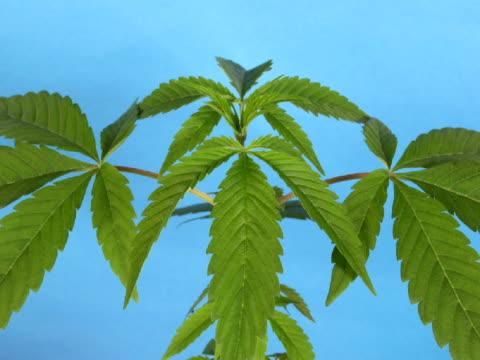 marijuana plant timelapse - cannabis sativa stock videos and b-roll footage