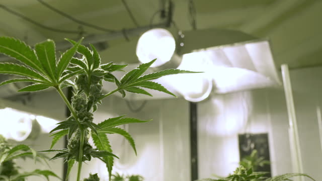 marijuana plants indoor grow operation