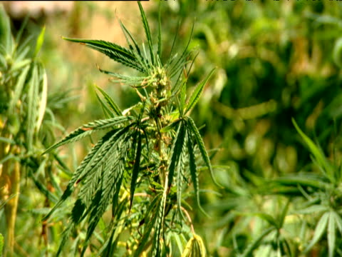 marijuana plants moving in breeze south africa - narcotic stock videos & royalty-free footage
