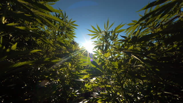 Marijuana plants on pot farm, Oregon