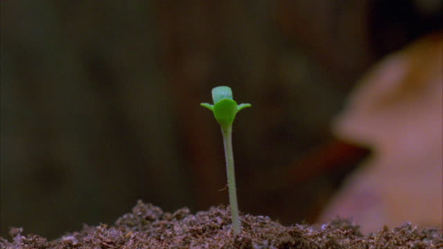 A marijuana seedling emerges from the ground and grows. Available in HD.
