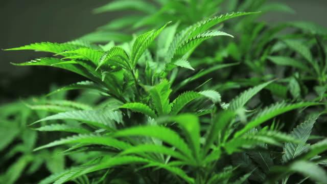 marijuana, weed, buds, cannabis, plant, pot - weeding stock videos & royalty-free footage