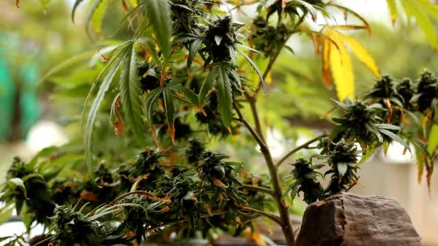 marijuana weed field - weeding stock videos and b-roll footage