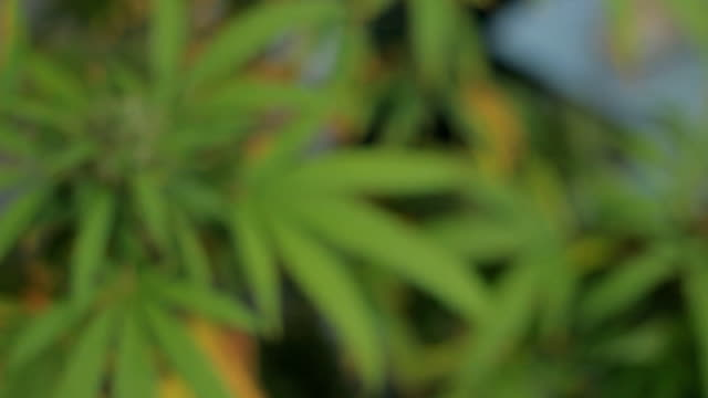 marijuana weed field CU