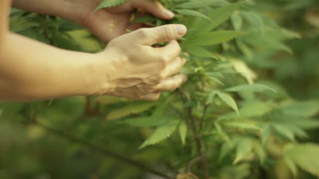 Haschisch/Hanf plant
