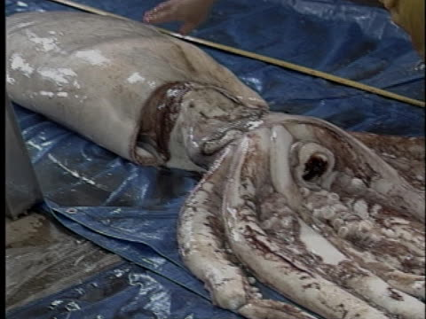 marine biologist inspects the carcass of a giant squid caught off the new zealand shore. - trapped stock videos & royalty-free footage