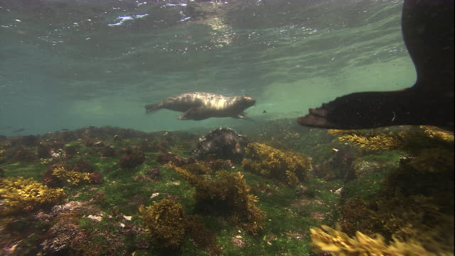 A marine iguana and two Galapagos fur seals swim over a rocky ocean floor. Available in HD.