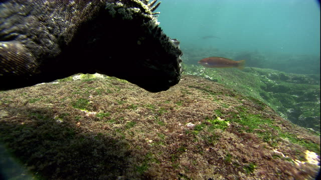 A Marine iguana clings to an underwater boulder while it eats algae. Available in HD.