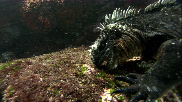 vídeos y material grabado en eventos de stock de a marine iguana eats algae from an underwater boulder. available in hd. - boulder rock