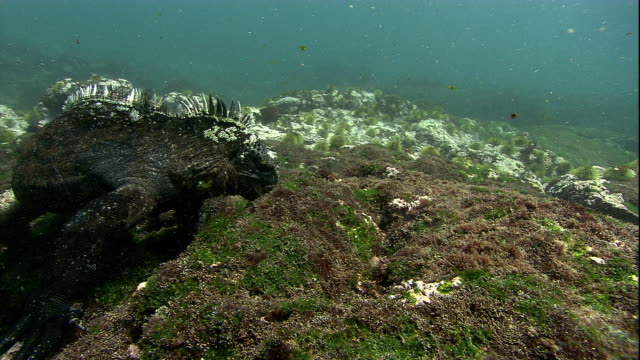 A Marine iguana eats algae from boulders on the ocean's floor. Available in HD.