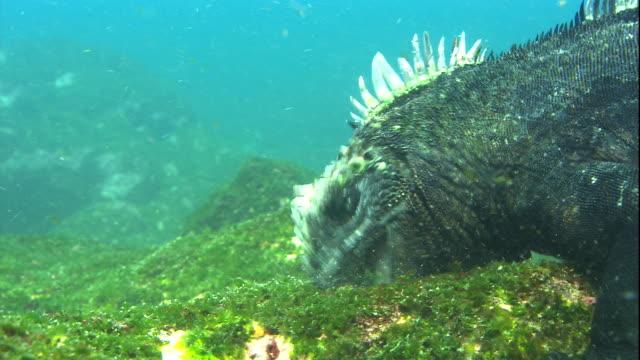 A marine iguana eats algae from rocks. Available in HD.