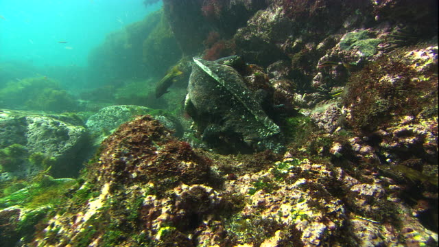 A marine iguana eats algae from rocks on the seabed. Available in HD.