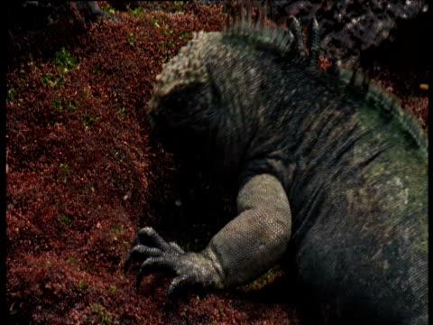 "vidéos et rushes de marine iguana eats algae, galapagos - ""bbc natural history"""