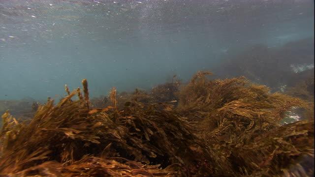 A marine iguana eats algae near a bed of seaweed. Available in HD.