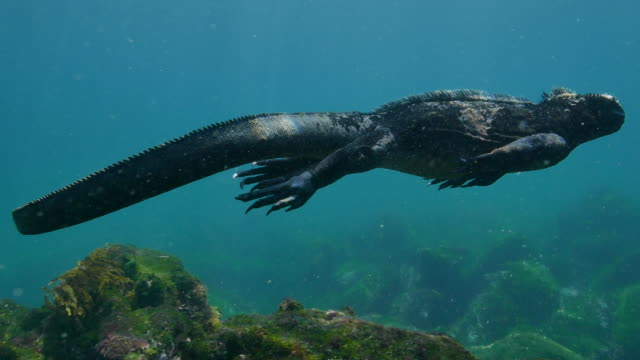 marine iguana forages for green algae undersea, galapagos - galapagos islands stock videos & royalty-free footage