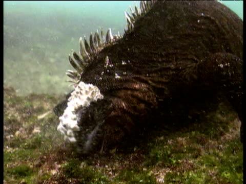 marine iguana grazes on algae on rocks underwater, galapagos islands - ガラパゴス諸島点の映像素材/bロール