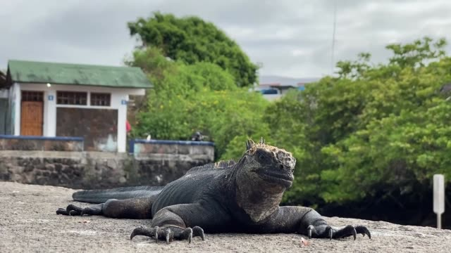 a marine iguana is seen on december 13 2019 in galapagos islands ecuador - galapagos islands stock videos & royalty-free footage