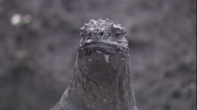 A marine iguana moves its tongue while looking around. Available in HD.