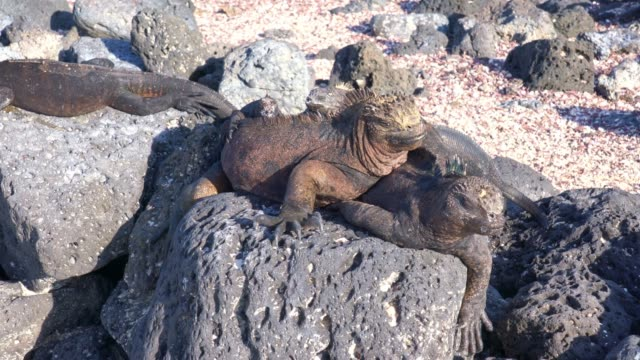 marine iguana on black rocks in galapagos - sunbathing stock videos & royalty-free footage