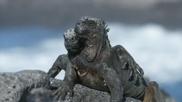 marine iguana pair resting in the sun - ガラパゴス諸島点の映像素材/bロール