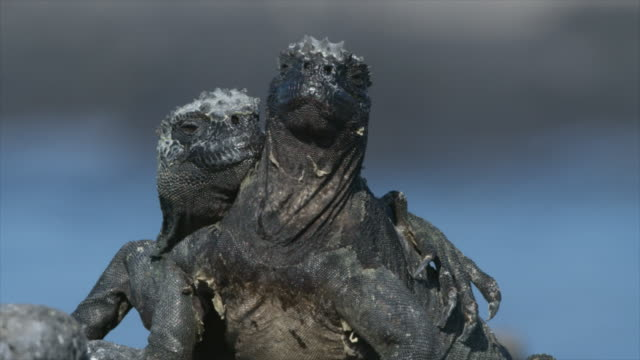 marine iguana pair resting in the sun - galapagos islands stock videos & royalty-free footage
