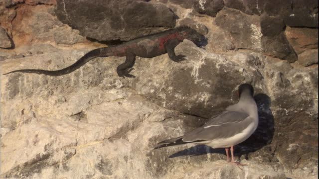 a marine iguana rests on a rock near a swallow-tailed gull on espanola island. available in hd. - swallow tailed gull stock videos & royalty-free footage