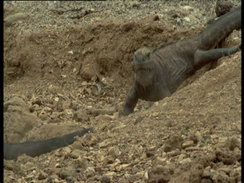Marine iguana runs off after being bitten by another, winner sits in burrow nodding, Galapagos